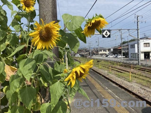 紀伊田辺駅のホームに咲くひまわり