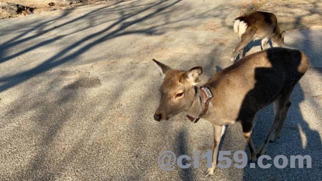 奈良公園の首輪をした鹿